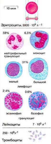 Элементы крови. Плазмолифтинг
